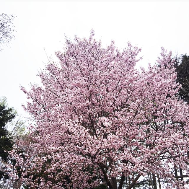 まだまだ間に合う!紅櫻公園『お花見ジンギスカン』