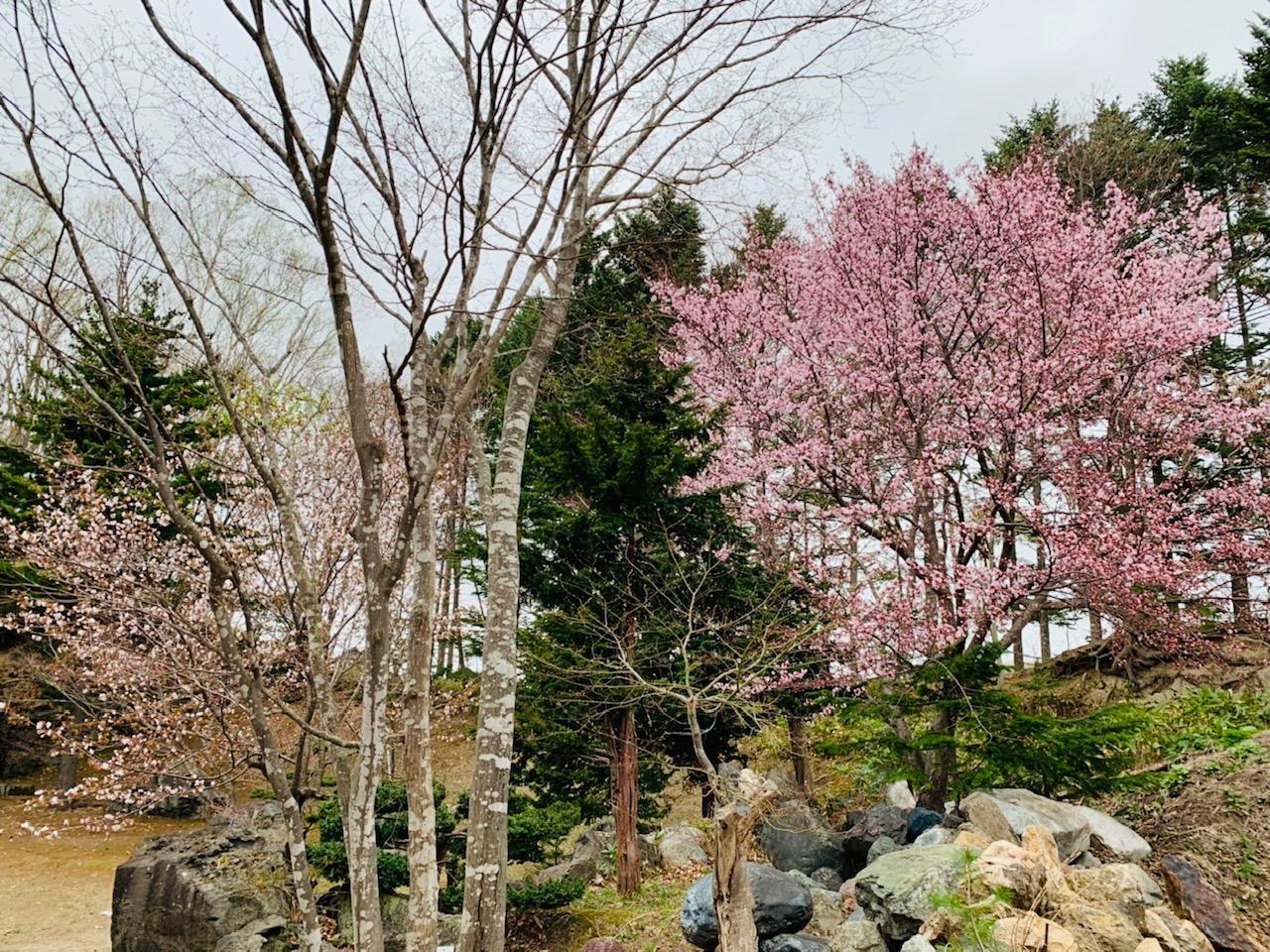 桜開花いたしました!